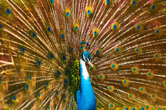 Birds Of Thailand. Peacock With Feathers Out. Animals. Travel, T Stock Image