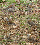 Birds of thrushes, the fieldfares Royalty Free Stock Photo