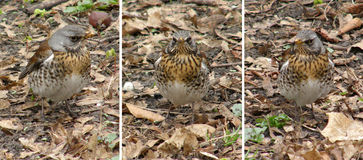 Birds of thrushes, the fieldfares Royalty Free Stock Image