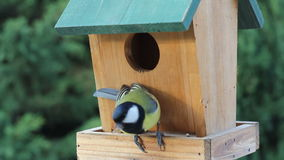 Birds Titmouse feeding stock footage