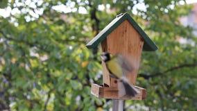 Birds Titmouse feeding stock video