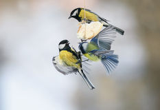 Birds Tits eating suet at the feeder and I bet flapping the wing Stock Image