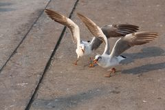 Agressive Bird. The birds are about to fight at Bangpoo Resort, Samut Prakan, Thailand Royalty Free Stock Photography