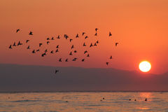 Birds traveling at sunrise Stock Image