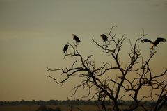 Birds on a tree in the evening. Some vultures in the evening Royalty Free Stock Photography