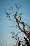 Birds in a tree gathered on a branch Royalty Free Stock Photography