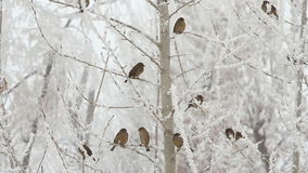Birds on a tree. Over sky at winter day stock footage