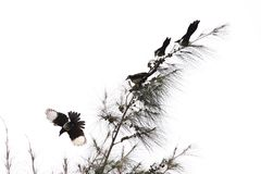 Birds on Tree. Photo of Birds on tree with under exposure to simulate a traditional Chinese Ink Painting of Birds on Tree Stock Illustration