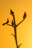 Birds on the tree. Silhouette of the birds on the tree with orange sunset. Wildlife scene from nature Stock Photography