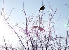 Birds on a tree. Three small and cute birds are sitting on the branches of a tree and eating Apple berries.