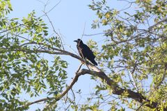 Birds and trees animal crow nature Stock Images