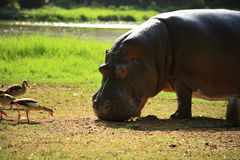 Birds trying to pinch the Hippo's food Royalty Free Stock Photography