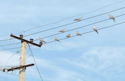 Birds - turtledove on electric wires. Flock of birds - turtledove on electric wires Royalty Free Stock Photo
