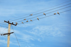 Birds - turtledove on electric wires. Flock of birds - turtledove on electric wires Stock Photos