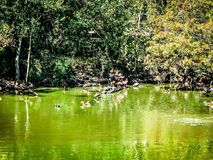 Birds and turtles on the shore. Birds and turtles swimming in a cypress swamp Stock Photos