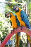 Birds: Two bright blue and gold parrots. Two bright blue and gold parrots royalty free stock image