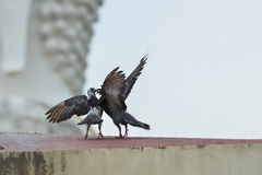 Birds. Two pigeons were playing happily Royalty Free Stock Images
