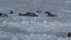Birds of Ukraine. Ducks and common gull Larus canus on ice stock footage