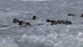 Birds of Ukraine. Ducks and common gull Larus canus on ice stock video