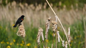 Birds. V1. Clip of red-winged black bird on cattails (Typha latifolia) in wetlands area stock footage