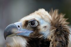 Vulture close-up portrait Royalty Free Stock Photography