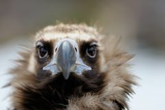 Vulture close-up portrait Royalty Free Stock Image