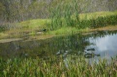swamp birds in the marsh Royalty Free Stock Photo