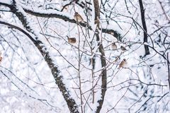 Birds wait for seed on snow tree branch in the winter park. Birdwatching in winter snow cold day stock photos