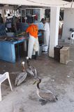 Birds waiting for fish. At an outdoor fresh fish market on the Malecon, Puerto Vallarta, Mexico while fishermen cut and clean fish Stock Image