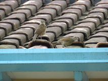 A birds walking on House roof- Sabiá Stock Photo