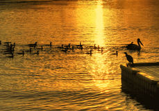 Birds On Water Royalty Free Stock Photography