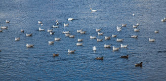 Birds on the water. Gulls, swans and mallards in Galway harbour, county Galway, Ireland Stock Photography