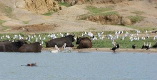 Birds and  water buffalos in Uganda Stock Image