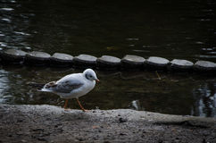 Birds on the water. Many gulls waiting here for some food Stock Image