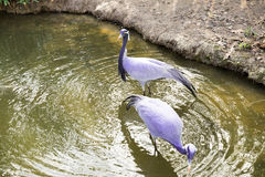 Birds in water Royalty Free Stock Photo