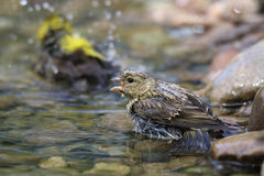 Birds in water. Birds are transferred daily cleansing with water Stock Photo