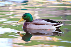 Birds in water. Wild bird floats in the water Royalty Free Stock Images