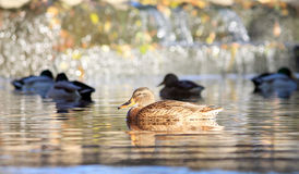 Birds in water. Wild bird floats in the water Royalty Free Stock Image