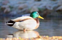 Birds in water. Wild bird floats in the water Stock Photos