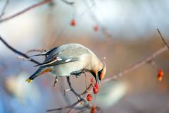 Birds waxwing on the branches eat mountain ash stock photography