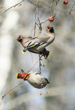 Birds waxwings eating apples in the Park sitting on a branch Stock Photo