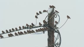 Birds waxwings sit on power lines in cloudy snowy weather. stock video footage