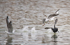 Birds weeds wings a feather take-off to fly water a beak scope Royalty Free Stock Photo
