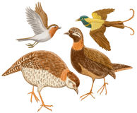 Birds on a white background. Partridges a robin and a paradise bird on a white background Stock Photography