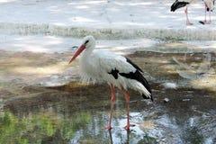 Pelican bird. White black pelican bird standing in a dry lake Royalty Free Stock Photo