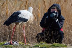 Birds - White Stork Ciconia ciconia with the photographer.  royalty free stock photography