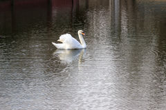 Birds,white Swan, Royalty Free Stock Photography