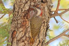 Birds, Wild African - Golden-tailed Woodpecker 2 Stock Photography