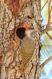 Birds, Wild African - Golden-tailed Woodpecker Royalty Free Stock Photography