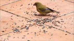 Birds, wild birds, pecking grains Birdseed. Feeding wild birds with birdseed stock video footage